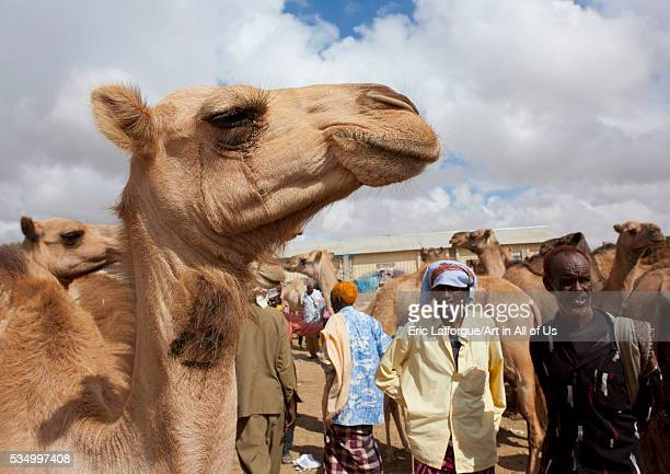 Somaliland Horn Of Africa Hargeisa camel trading in the livestock market
