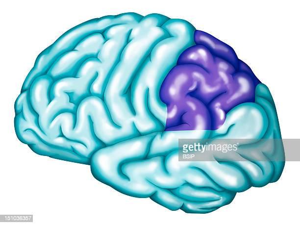 Somatosensory Association Cortex The Somatosensory Association Cortex Or Posterior Parietal Cortex Is Located In The Parietal Lobe Of The Brain It...