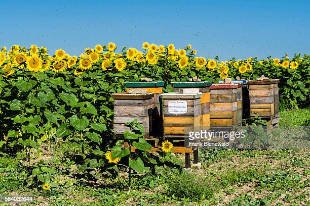 Some beehives are placed at a field of common sunflowers the air is full of bees