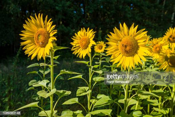Some blossoms of common sunflowers are standing out of a whole sunflower field