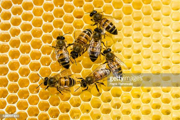 Some Carniolan honey bees are acting on a honeycomb