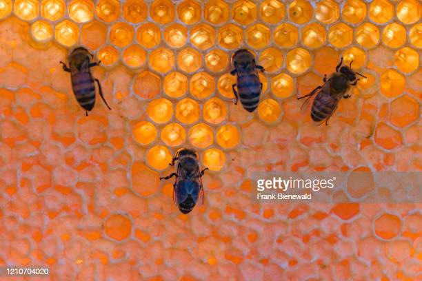Some Carniolan honey bees crawling on a honeycomb, some of the cells sealed.