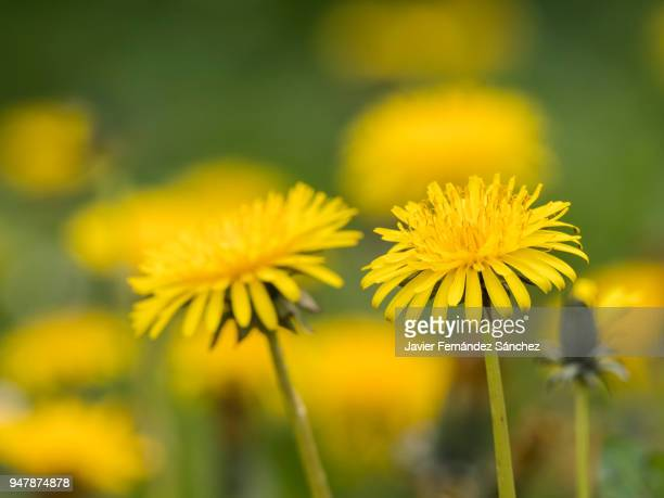 some dandelion (taraxacum officinale) flowers  in the foreground on a background of more flowers in a meadow. - dandelion stock pictures, royalty-free photos & images