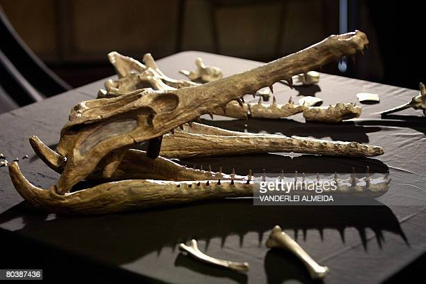 Some fossil bones and a replica of a 62 million yearold crocodyliform is presented to the press at the Museum of National History in Rio de Janeiro...