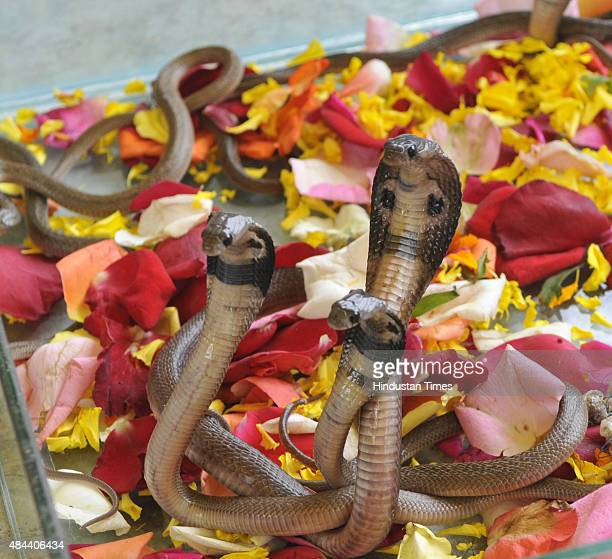 Some King Cobras kept in captivity at snake catcher's centre which has a collection of more than a dozen of the deadly snakes a day ahead of Nag...