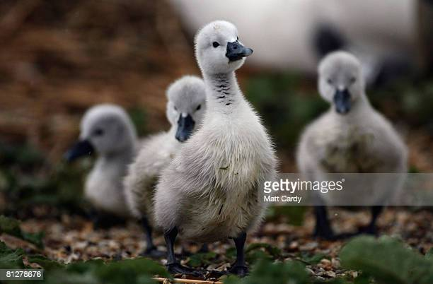 Some of a record number of cygnets recently born at Abbotsbury Swannery that was hit with bird flu earlier this year walk in the rain on May 29 2008...