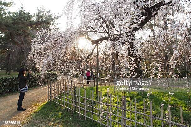 CONTENT] Some of sakura trees reaching full bloom in this weekend around Kansai region Taken at Kyoto Imperial Palace park on March 23rd