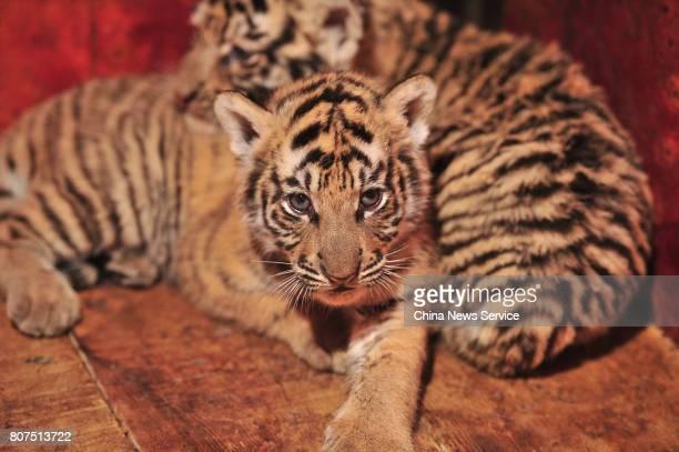 Some of Siberian tiger septuplets are seen at Yunnan Safari Park on July 4 2017 in Kunming Yunnan Province of China Siberian tiger septuplets were...