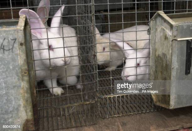 Some of the 1152 rabbits on their way to a new home after being liberated from Regal Group UK a 22yearold firm that bred rabbits for...