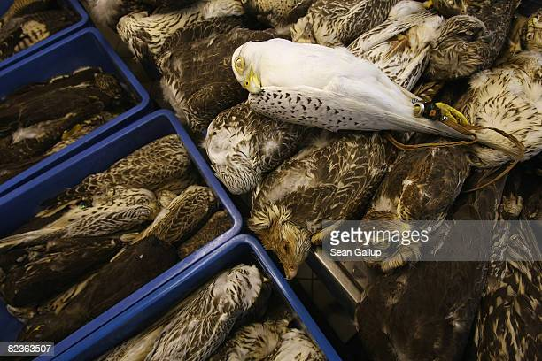 Some of the 700 dead falcons kept by falcon breeder Hans Juergen Kuespert lie frozen in a storage room at his breeding farm on August 15 2008 in...