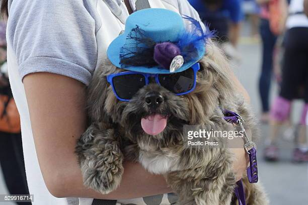 Some of the dog owners bring their beloved Shih Tzu in fashionable wayThe Great Shih Tzu Walk is an event organized by Royal Canin Philippines in an...