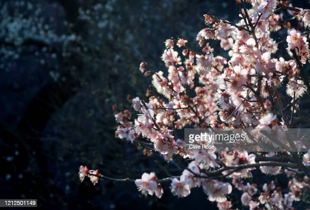 Some of the first blossom blooms to flower in Tokyo are seen The cherry blossom is deeply symbolic in Japan it only lasts for around one week and...