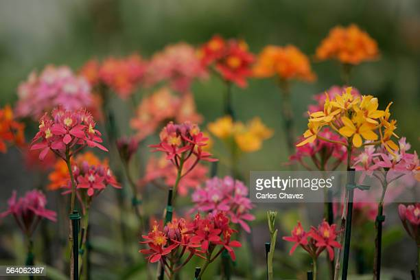 Some of the largest orchid growers Cal–Orchid Inc in Goleta Ca offers plants that can be grown both in– and out doorsShown here epidendrum in a...
