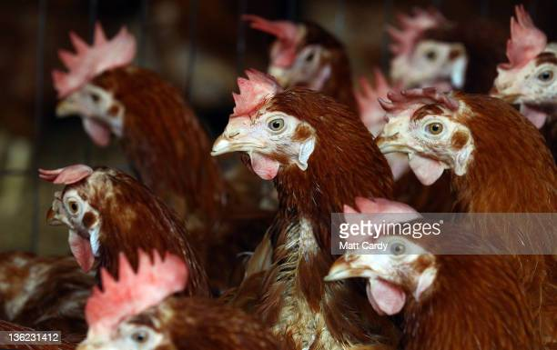 Some of the last exbattery hens to be rehomed wait for their new owners in a barn at the British Hen Welfare Trust on December 29 2011 in Chulmleigh...