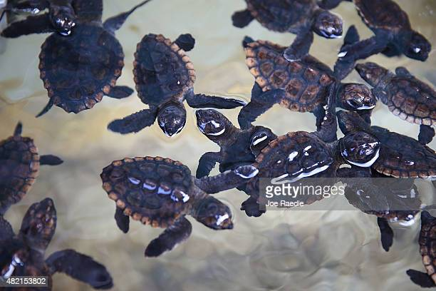 Some of the more than 570 baby sea turtles including the Loggerhead and Green turtles are seen before they are released into the Atlantic Ocean in a...