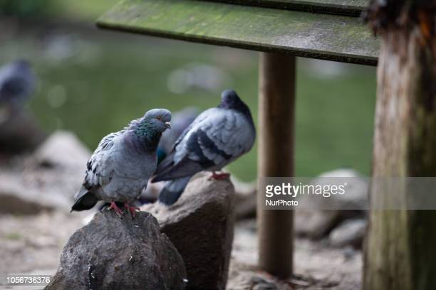 Some pigeons seen in the capital of Piedmont in Northern Italy