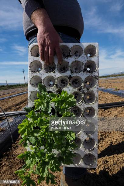 Some plants during the cultivation stages of vegetables and fruit in preparation for the summer harvest in southern Italy