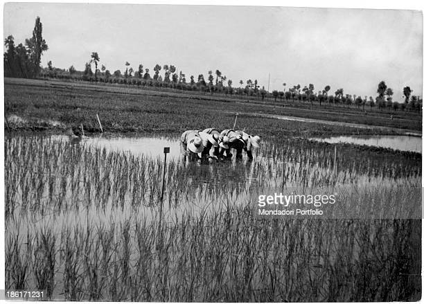 Some rice weeders reaping rice on a paddy in Lombardy Italy 1930s