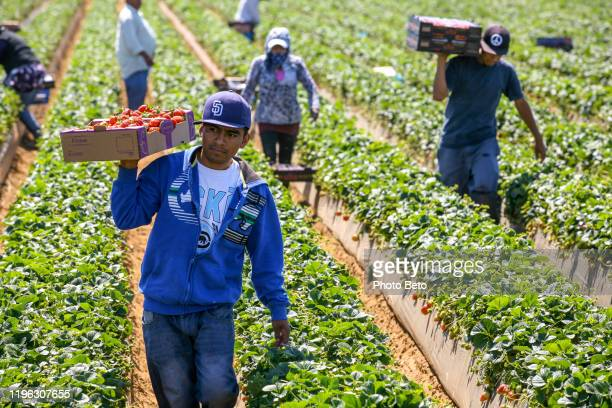 seasonal worker in a strawberry field in mexico - migrant worker stock pictures, royalty-free photos & images