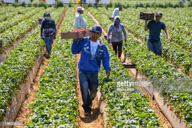 some seasonal farmers work hard in the sun in a strawberry plantation in mexico - farm worker stock pictures, royalty-free photos & images