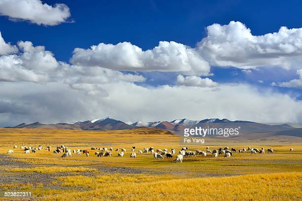 Some sheep in the pasture, in Tibet