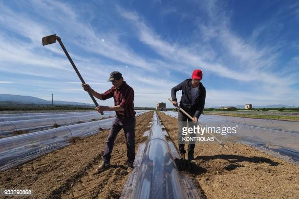 Some workers hoe during the cultivation stages of vegetables and fruit in preparation for the summer harvest in southern Italy