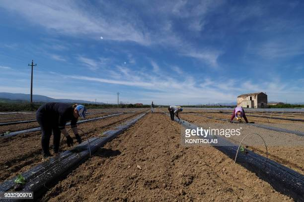 Some workers plant the plants during the cultivation stages of vegetables and fruit in preparation for the summer harvest in southern Italy