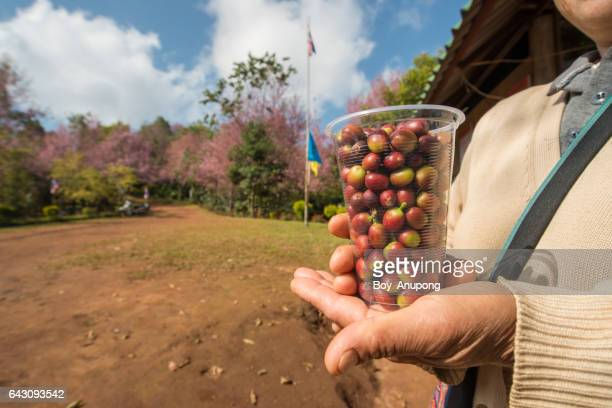 Someone holding raw cherry coffee seeds in plastic glass.