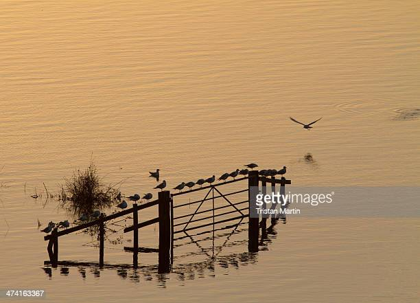 Somerset floods. Birds perch on a half submerged farm gate in flooded fields on the Somerset Levels at Burrowbridge at sunrise. Large areas of the...
