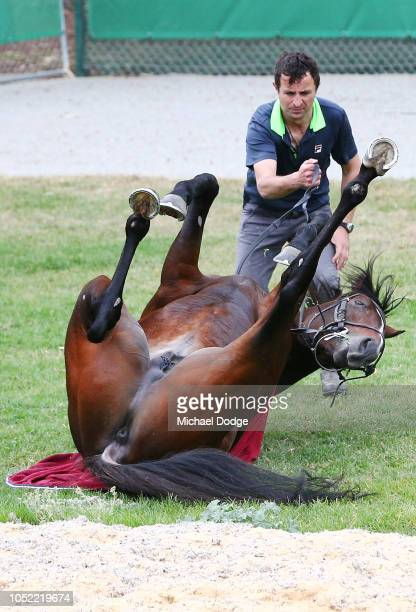 Somerset Maugham rolls on the grass during a Werribee Trackwork Session at Werribee Racecourse on October 16 2018 in Melbourne Australia