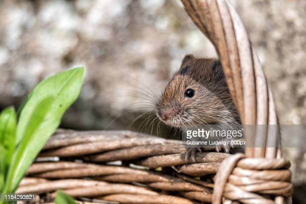 something for small mice in the basket - animal whisker stock pictures, royalty-free photos & images
