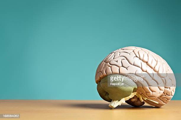 something to think about: model brain sits on desk - medulla stock photos and pictures