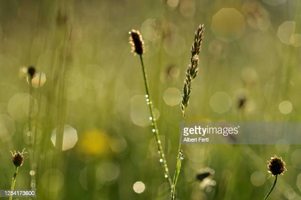 sommerwiese am morgen nach dem regen - morgen stock pictures, royalty-free photos & images