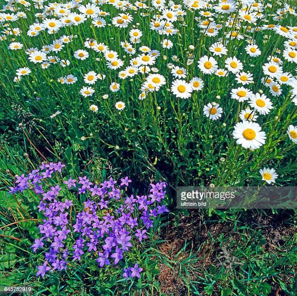 Sommerwiese mit bluehenden Weissen Margeriten, Leucanthemum vulgare, auch Weisse Wucherblumen, und blauen Wiesenglockenblumen Campanula patula