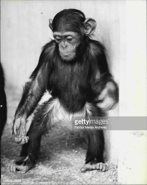 Sommy the second youngest chimpanzee just starts walking away from his mum It takes normally 2 years to chimpanzee to be on his own feet Sommy is the...