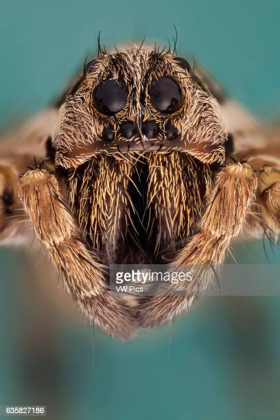 Somo kind of wolf spider they are robust and agile hunters with good eyesight They live mostly solitary lives and hunt alone Some are opportunistic...