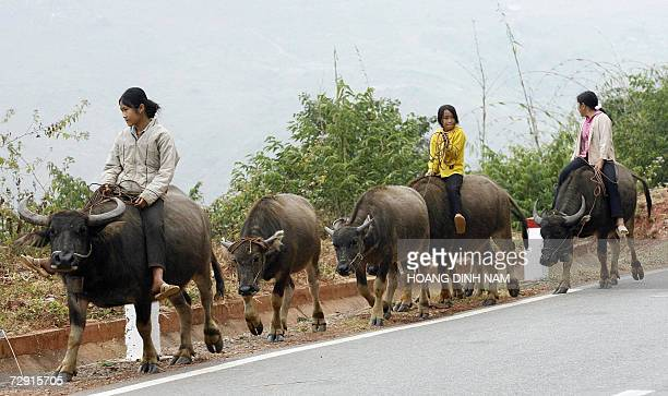 Young girls ride on buffalos as they make way home on a road in northern province of Son La 01 January 2007 Buffalos are used in many different field...