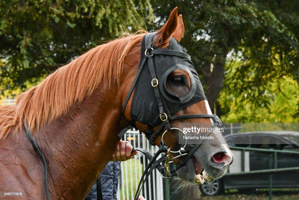 Son of Sami after winning the Ladbrokes Cash Out BM58 Handicap at Mornington Racecourse on April 16, 2018 in Mornington, Australia.
