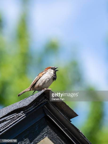 song sparrow bird on roof top - birdsong stock pictures, royalty-free photos & images