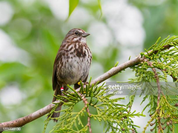 song sparrow perched on tree branch oregon wild bird - songbird stock pictures, royalty-free photos & images