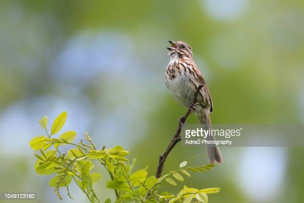 song sparrow - birdsong stock pictures, royalty-free photos & images