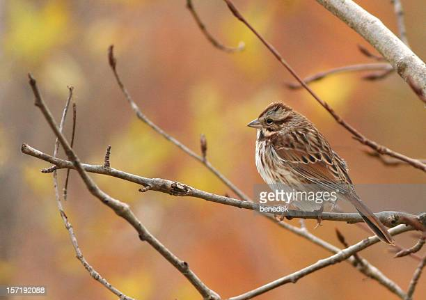 song sparrow - songbird stock pictures, royalty-free photos & images
