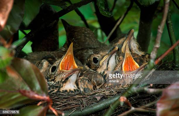Song thrush chicks chirping in nest made in bush