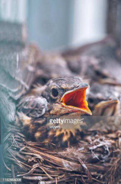song thrush chicks sitting in nest with open mouth - tordo bottaccio foto e immagini stock