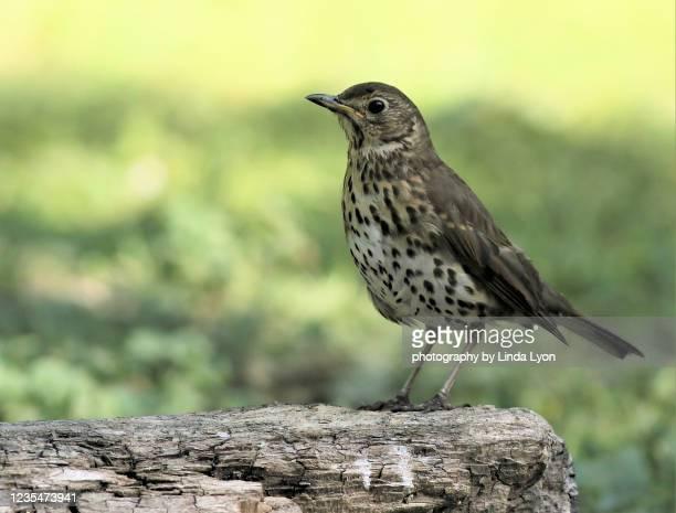song thrush in late spring 2020, in green woodland - tordo bottaccio foto e immagini stock