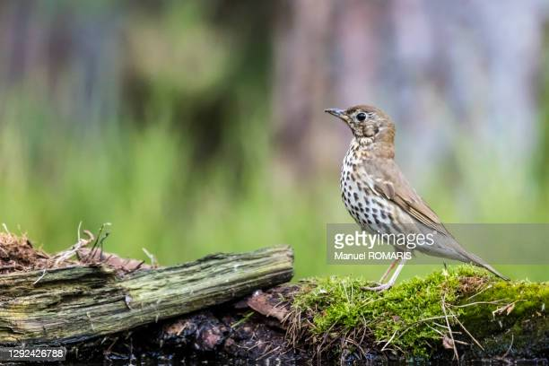 song thrush, kalmthout, belgium - one animal stock pictures, royalty-free photos & images
