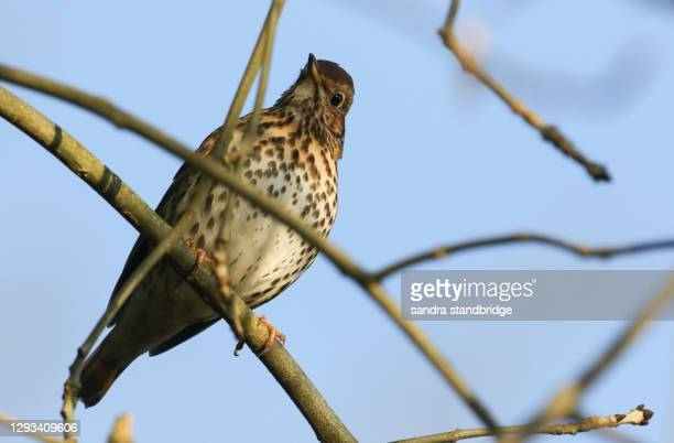 a song thrush (turdus philomelos) perched on an ash tree in winter. - ash tree stock pictures, royalty-free photos & images
