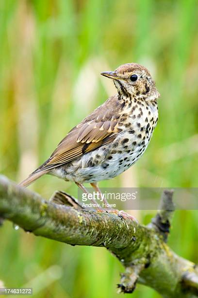 song thrush (turdus philomelos) - thrush stock pictures, royalty-free photos & images
