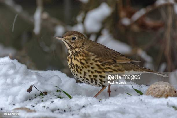 song thrush - thrush stock pictures, royalty-free photos & images