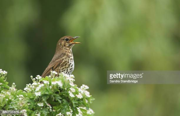 a song thrush (turdus philomelos) singing perched on the top of a flowering hawthorn bush. - tordo bottaccio foto e immagini stock